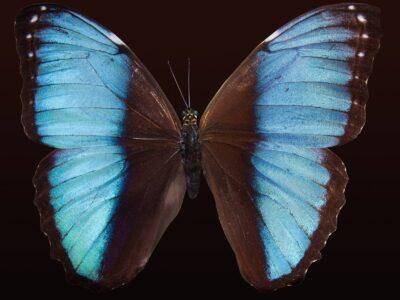 blue dot army butterfly